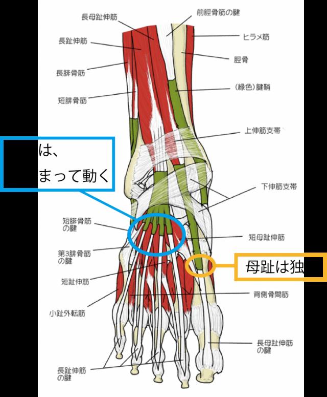 足の解剖的にみて足袋は合理的